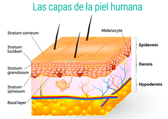 Las capas de la piel humana